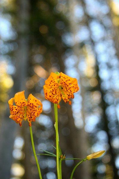 Sierra Lily (Lilium kelleyanum)<br> <br> Yost Lake