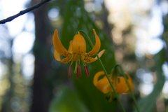 Rock Climbing Photo: Sierra Lily (Lilium kelleyanum)  Yost Lake