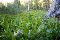 Rock Climbing Photo: Mountain wildflowers at Yost Lake Meadows