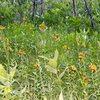Sierra Lilys plentful at the Yost Lake Meadows