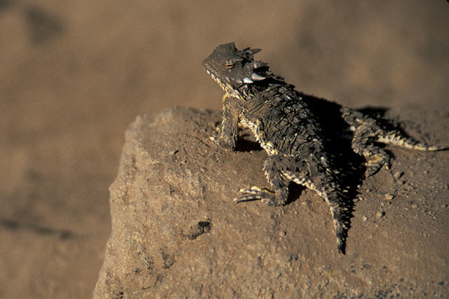 A pair of Horned Lizards seen on the approach trail to Sentinel Peak.