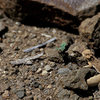 A very tiny, juvenile Horned Lizard, spotted near the Planet of the Apes Wall, MCSP