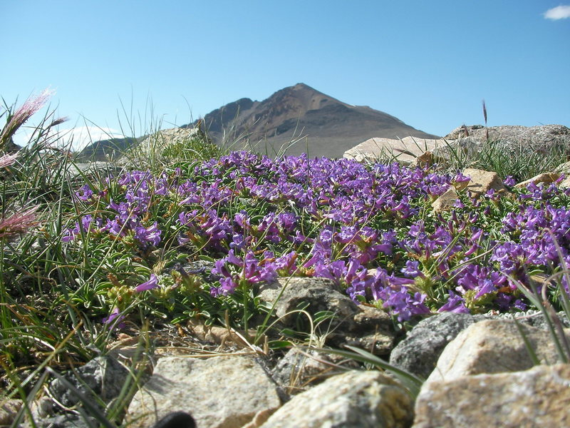 Penstemon and White Mountain peak as viewed from the trail just north of Barcroft lab.