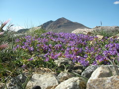 Rock Climbing Photo: Penstemon and White Mountain peak as viewed from t...