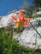 Rock Climbing Photo: Western Columbine (Aquilegia formosa), Mammoth Lak...