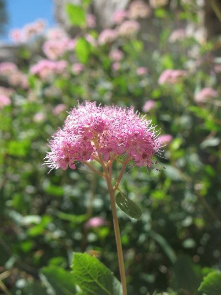 Dense-Flowered Spiraea (Spiraea densiflora), Mammoth Lakes Area