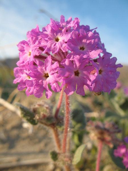 Rock Climbing Photo: Desert Sand-Verbena (Abronia villosa), Anza Borreg...