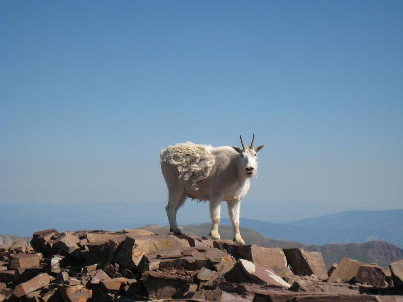 Goat on the summit of Pyramid Peak.
