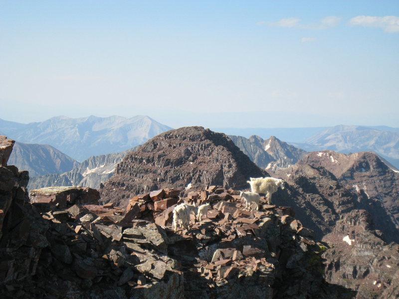 Rock Climbing Photo: A family of mountain goats just a few feet below t...