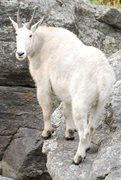 Rock Climbing Photo: Hippie Hole Goat