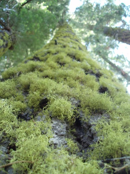 Rock Climbing Photo: amazing trees and moss...