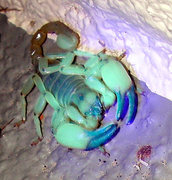 Rock Climbing Photo: Desert Hairy Scorpion, FLV, Nevada.