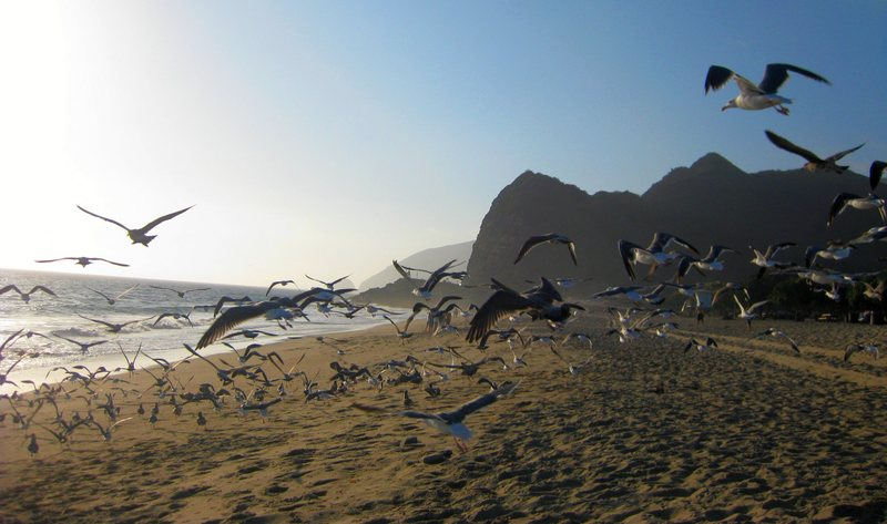 The birds in flight.<br> <br> Point Mugu 9/8/09