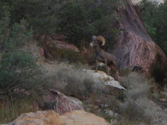 Rock Climbing Photo: Ovis canadensis nelsoni...A mighty big horn!
