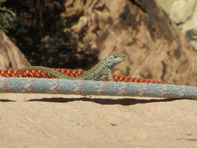 Gambelia wislizenii...Long Nose Leopard Lizard also thinking about rappeling of a perfect ledge!