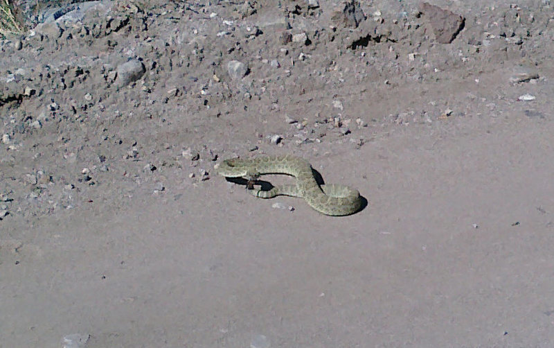 Rock Climbing Photo: Good sized rattle snake on the dirt road to El Rit...