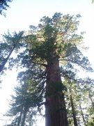 Rock Climbing Photo: Giant Sequoias at Tuolumne Grove