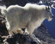 Rock Climbing Photo: Mountain Goat