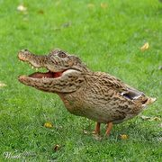 Rock Climbing Photo: the crocoduck