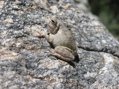 Rock Climbing Photo: These cool little frogs like to hang out on all th...