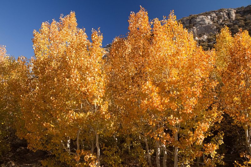 Aspens along South Lake Road