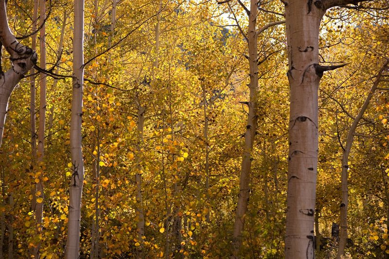 Aspens along Bishop Creek