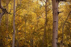 Rock Climbing Photo: Aspens along Bishop Creek