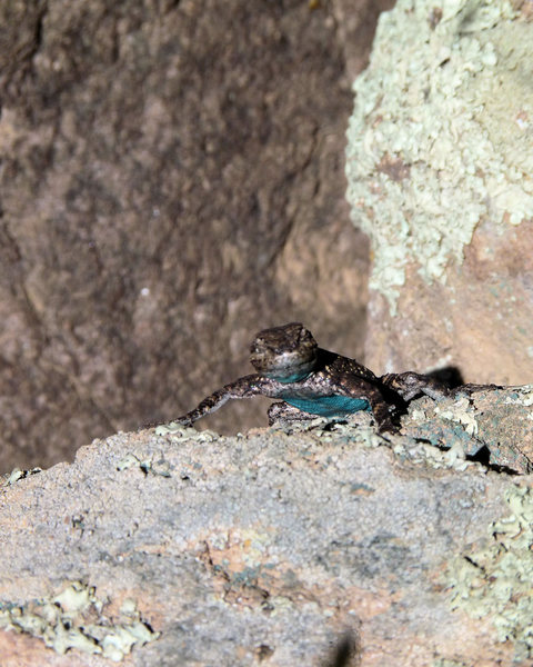 Rock Climbing Photo: A blueberry lizard