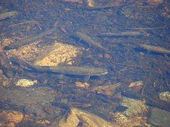 Rock Climbing Photo: Small trout near Lembert dome, Sept 09.