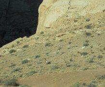 Rock Climbing Photo: Big Horn Sheep at the entrance of Three Fingers Ca...