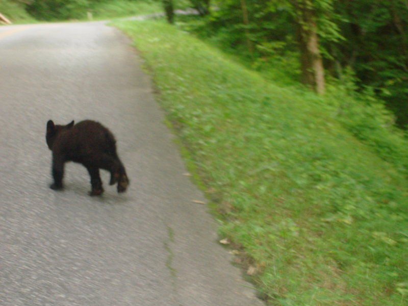 bear cub ran in front of Billi and I while on out way to hike Mt. Leconte.