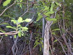 "Rock Climbing Photo: Tyler ""tunneling"" through the belay tree..."