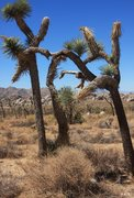Rock Climbing Photo: One Joshua Tree helping out another...
