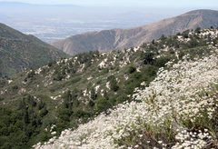 Rock Climbing Photo: California Buckwheat bloom in the foreground