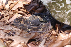 Rock Climbing Photo: Awesome rattler seen at Coopers Rock, WV