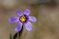 Rock Climbing Photo: Blue-Eyed Grass (Sisyrinchium bellum), Santa Monic...