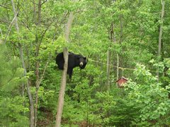 Rock Climbing Photo: What U lookin'at ??  Bear Pic 1