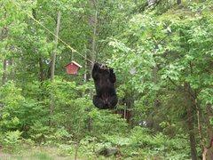 Rock Climbing Photo: 6 & 7 & 8 & ....  Bear Pic 2
