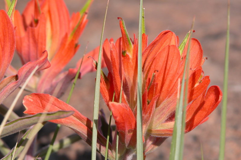 Indian Paintbrush.