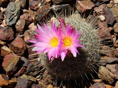 Rock Climbing Photo: Blooming (Barrel?) Cactus, March 09.