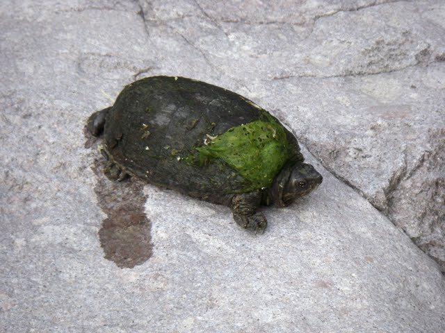 turtle piss