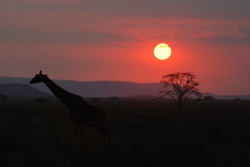 A Giraffe takes in the sunset in Tanzania