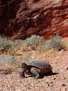 Rock Climbing Photo: Desert Tortoise, near The Pearl, June 2004, Kraft ...