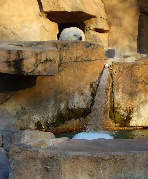Apparently the Polar Bears at Henry Vilas Zoo are avid sport climbers.  Weird.