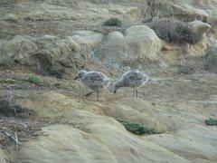 Rock Climbing Photo: baby seagulls