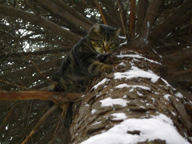 Nettik downclimbing a tree in the snow