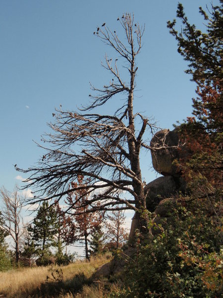 Rock Climbing Photo: Vedauwoo tree