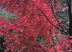 Rock Climbing Photo: Dogwood-Autumn. Photo by Blitzo.