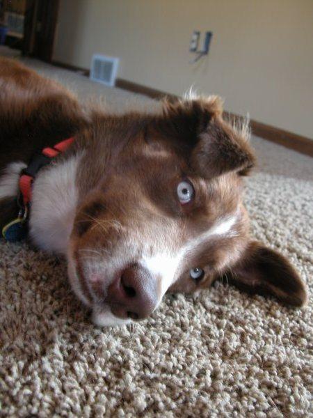 Superdog's alter ego...Maizy - half Aussie Shepherd, half Husky