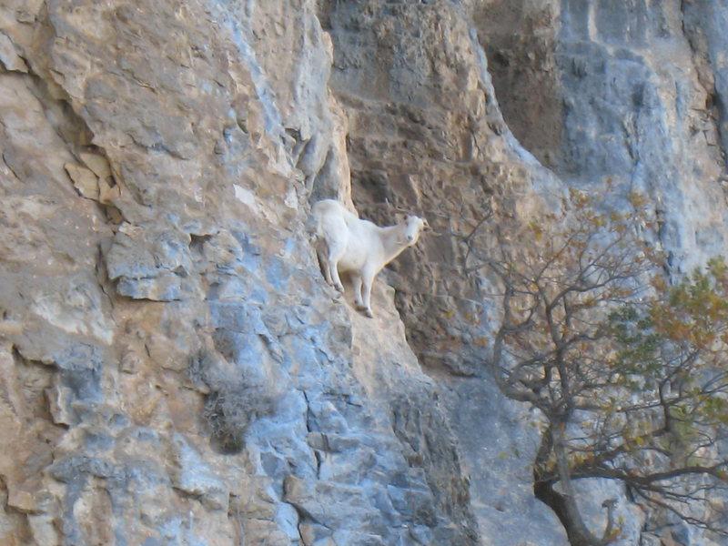 El Goato (spanish goat).